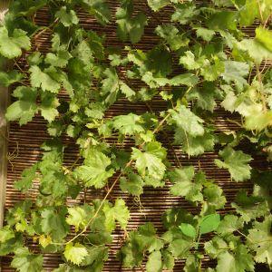 Wilgenmat klimplanten ondergrond